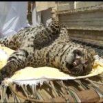 Maharajganj:पनियरा धवई बीट के नटवा जंगल में चीते की मौत,पहुंचे वनाधिकारी